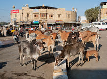 Holy indian cows stand in the group on the city street. JAISALMER, INDIA: Holy indian cows stand in the group on the city street. Jaisalmer lies in the heart of Stock Photo