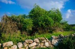 Holy land Series - ancient trees, Hirbat Burgin Royalty Free Stock Image