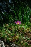 Holy Land Series - Judea Mountains -Sunrose blooming stock photo
