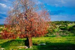 Holy land Series - Red Oak Tree, Hirbat Burgin Stock Photography