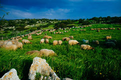 Holy land Series - Sheeps in the meadow, Hirbat Burgin Stock Photography