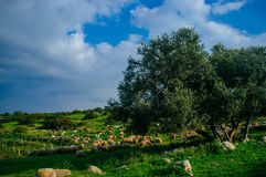 Holy land Series - Sheeps in the meadow, Hirbat Burgin 2 Stock Images