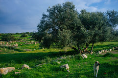 Holy land Series - Sheeps in the meadow, Hirbat Burgin 3 Royalty Free Stock Photography