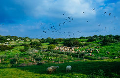 Holy land Series - Sheeps in the meadow, Hirbat Burgin 4 Royalty Free Stock Photos