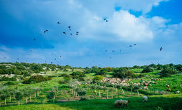 Holy land Series - Sheeps in the meadow, Hirbat Burgin 5 Royalty Free Stock Image