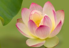 Holy lotus flower with yellow heart Royalty Free Stock Image