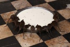 Holy Rats. Rats feeding on milk at Deshnock Temple, Bikaner, India Stock Photography
