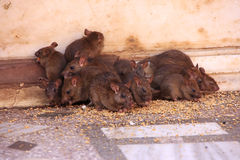Holy rats running around Karni Mata Temple, Deshnok, India Royalty Free Stock Photo