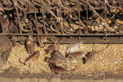 Holy rats running around Karni Mata Temple, Deshnok, India Stock Image
