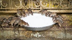 Holy rats sipping milk. In Karni Mata Temple (The rat temple), Deshnoke, Rajasthan, India Royalty Free Stock Photography