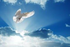 Holy Spirit dove flies in blue sky. White dove in blue sky symbol of faith Stock Photos