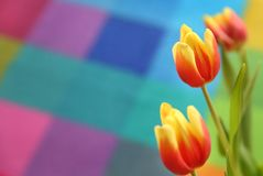 Beautiful spring tulip on a colored background. Yellow and red flowers Stock Images