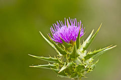 Holy thistle. Medicine plant of the Mediterranean countries Royalty Free Stock Photo