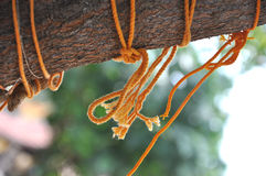 Holy thread mangalsutra. Holy thread tied in the branch of neem tree as mark of prayer Stock Photo