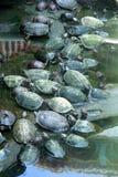 Holy turtles Stock Photos