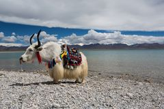 Holy white yak. The yaks we usually see are almost all black. There are many such white yaks on the side of Namtso Lake for tourists to watch and shoot. Of Royalty Free Stock Images