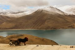 Holy Yamdrok lake and a tibetan mastiff. Beautiful holy Yamdrok lake with snow mountain in background and a tibetan mastiff as foreground in a cloudy day Royalty Free Stock Photography