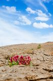 Holyland-Reihe - Ramon Crater Makhtesh - Wüstenblüte 3 stockfoto