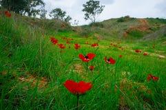 Holyland serie - anemoner Field#2 arkivbild