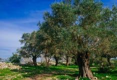 Holyland serie - gamla Olive Trees Royaltyfri Fotografi