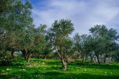 Holyland serie - gamla Olive Trees #3 Arkivfoton