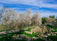 Holyland Series -Almond Tree#2. Almond tree blooming with dirt road and blue sky with cirus clouds. Typical of Judea Mountains, central Israel in the winter Royalty Free Stock Photos