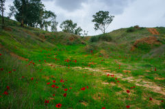Holyland Series -Anemones Field in the Negev. January-March are blossom time in the Negev (70% of Israel's territory) desert, Anemones cover the hills of the Royalty Free Stock Photo