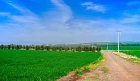 Holyland series- Galilee fields 2 panorama. Wheat field early growth mixed with bare rockey field, blue sky with cirus clouds Royalty Free Stock Photo