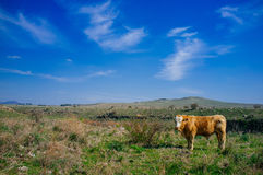 Holyland Series - Golan Heights cattle. Golan Heights typical view of open landscape and grazing cow Royalty Free Stock Photo