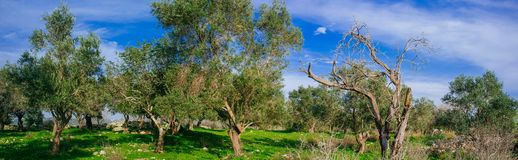 Holyland Series -Old Olive Trees panorama. A panoramic view of ancient olive trees in Judea Mountains South West of Jerusalem Royalty Free Stock Images