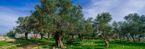 Holyland Series -Old Olive Trees panorama. A typical Olive trees plant in a deserted Palestinian village (from 1948). Lush green grass, blue sky Royalty Free Stock Photography