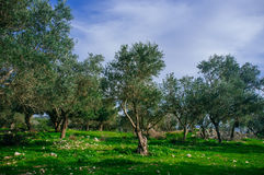 Holyland Series -Old Olive Trees #3. A panoramic view of ancient olive trees in Judea Mountains South West of Jerusalem Stock Photos