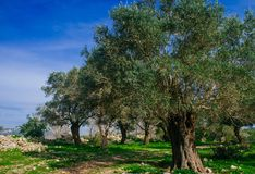 Holyland Series -Old Olive Trees. A typical Olive trees plant in a deserted Palestinian village (from 1948). Lush green grass, blue sky Royalty Free Stock Photography