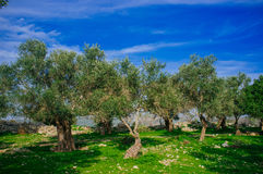 Holyland Series -Old Olive Trees #2. A typical Olive trees plant in a deserted Palestinian village (from 1948). Lush green grass, blue sky Stock Image