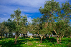 Holyland Series -Old Olive Trees #4. A view of ancient olive trees in Judea Mountains South West of Jerusalem Stock Photos