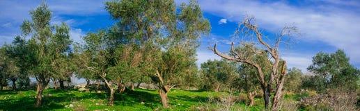 Holylandreeks - Oud Olive Trees-panorama Royalty-vrije Stock Afbeeldingen
