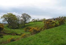 Holywell Farm, County Durham. Sheep and their lambs grazing in the meadows, among the ancient trees and wild gorse Ulex europaeus bushes royalty free stock photography