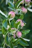 Holzäpfel auf einem Zweig stockfoto