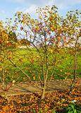 Holzäpfel und Windschlage Stockfoto