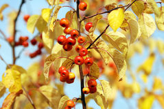 Holzäpfel unter Herbstblättern Stockbild