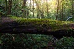 Holz bedeckt mit grünem Moos im Wald lizenzfreie stockbilder