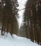 Holz im Winter mit hohen Bäumen Stockbilder
