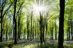 Holz mit Bluebells und Morgenleuchte Stockfotografie