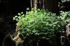 Holz-Sauerampfer Oxalis-oregana, wachsend auf Baumstumpf des alten Wachstums im Wald Stockfoto