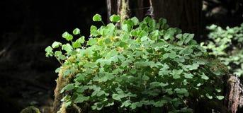 Holz-Sauerampfer Oxalis-oregana, wachsend auf Baumstumpf des alten Wachstums im Wald Stockbild