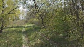 Holz-Wald, Baumhintergrund, grüne Naturlandschaft, Wildnis, Sunny Day stock footage