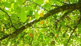 Holzapfel-Baum Lizenzfreie Stockfotos