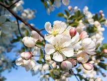 Holzapfel-Blüten Stockbilder