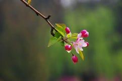 Holzapfel-Blüten Lizenzfreies Stockbild