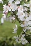 Holzapfel im Frühjahr Stockbild